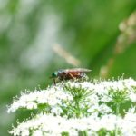 Ulei impotriva intepaturilor de tantari si alte insecte